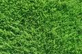 Green Thuja  Background