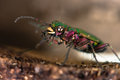 Green tiger beetle cicindela campestris eyes and mandibles an impressive hunting ground in the family carabidae with violet pink Royalty Free Stock Photos