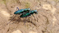Green Tiger Beetles mating Royalty Free Stock Photo