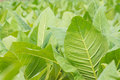 Green tobacco field. Royalty Free Stock Photo