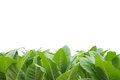 Verde tabaco blanco