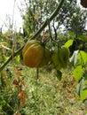 Green tomates Royalty Free Stock Photo
