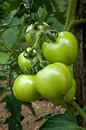Green tomato is the edible often red fruit berry of the nightshade solanum lycopersicum commonly known as a plant tomatoes Royalty Free Stock Image
