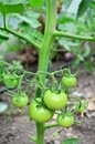 Green tomato in a greenhouse Stock Image
