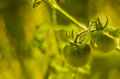 Green tomato small tomatoes in farm Stock Image