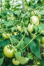 Green tomatoe fruit om the bush in a garden Royalty Free Stock Photo