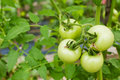 Green-tomatoes Stock Photos