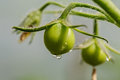 Green tomatoes on a branch in the garden Stock Image