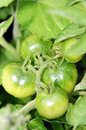Green tomatoes branch with growing outdoor Royalty Free Stock Photography
