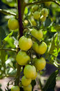 Green tomatoes on the bushes Stock Photos