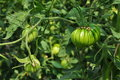 Green tomatoes closeup unripe tomato fruits on a vine Stock Images