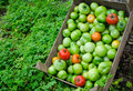 Green tomatoes freshly picked ready for canning pickling Stock Images