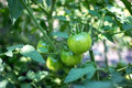 Green tomatoes in the garden Royalty Free Stock Photo