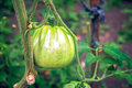 Green tomatoes in a garden. Royalty Free Stock Photo