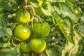 Green tomatoes and leafs in garden close-up Stock Photos