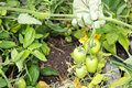 Green tomatoes on the vine Royalty Free Stock Photography