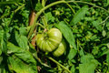 Green Tomatoes on vine in Garden Royalty Free Stock Photo