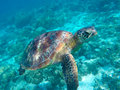 Green tortoise close underwater photo. Tropical sea animal in wild nature Royalty Free Stock Photo