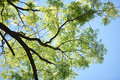 Green tree brances frame corner with blue sky and sun flare in background Royalty Free Stock Photo