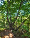 Green tree on the edge of the forest with a branched trunk in the rays of the sun Royalty Free Stock Photo