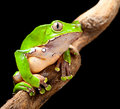 Green tree frog amazon rain forest Royalty Free Stock Photo