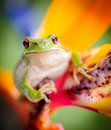 Green tree frog on bird of paradise flower 2 Royalty Free Stock Photo