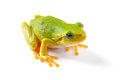 Green tree frog close up over white background Stock Photos