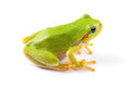 Green tree frog close up over white background Royalty Free Stock Image