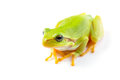 Green tree frog close up over white background Royalty Free Stock Photo