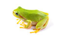 Green tree frog close up over white background Stock Images