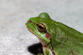 Green tree frog close view Royalty Free Stock Images