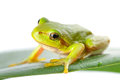 Green tree frog on the leaf close up Stock Photos