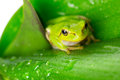 Green tree frog on the leaf close up Royalty Free Stock Photo