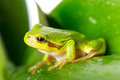 Green tree frog on the leaf close up Stock Photo