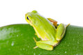 Green tree frog on the leaf close up Stock Images