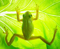 Green tree frog on the leaf close up Royalty Free Stock Images