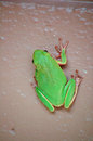 Green tree frog on wall a rests a painted in so florida Stock Photo