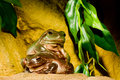 Green tree frogs Stock Photos