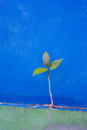 Green tree growth from concrete wall blue persistence of survival Stock Photos