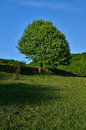 Green tree on a hill on a sunny day Royalty Free Stock Photo