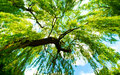 Green tree incredibly willow in summer Royalty Free Stock Photography