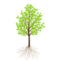 Green tree with leaves and roots isolated on white background