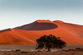 Green tree nourished by fog stands in namibian desert dunes touch of morning brings much needed moisture to this is the oldest the Stock Photo
