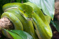 Green tree python Stock Photos