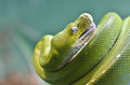 Green tree python a is curled and rests on a log Royalty Free Stock Photos