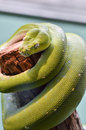 Green tree python a is curled and rests on a log Stock Photography