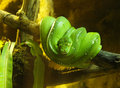 Green Tree Python Snake - Chondropython Viridis Royalty Free Stock Photo