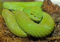 Green Tree Viper Snake Stock Photography