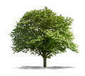 Green tree on a white background view of Royalty Free Stock Photo