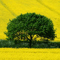 Green Tree yellow field Royalty Free Stock Images